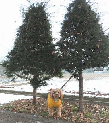 IMG_5567双子のツリー