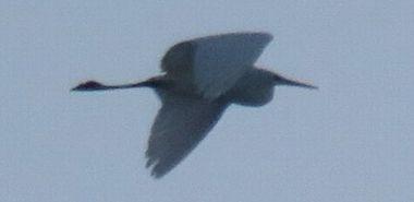 IMG_5769白鳥1