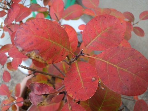 スモークツリー 紅葉