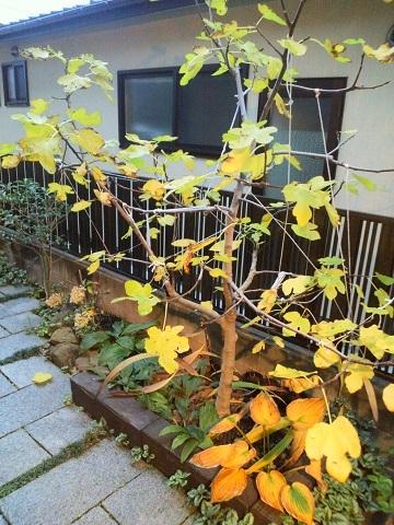 イチジクの木の紅葉