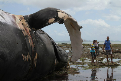 ブラジル103-whale-strandings-in-Brazil-all-time-record