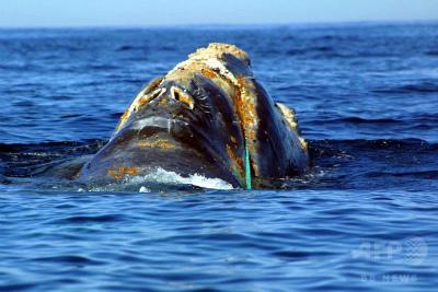 img_2154801a8a542695f4415f3f076e22e2168469漁網が絡まったタイセイヨウセミクジラ