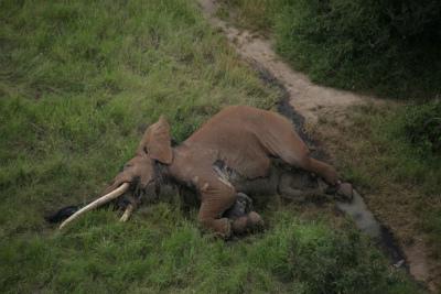 DEN1MWAXgAALN5u①ケニアのサバンナでまた1頭