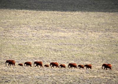 DEN93rHXsAAurp-⑭群れを率いるのは最長老の雌ゾウ。
