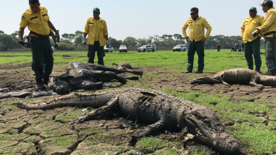 thousand-alligators-dead-brazil-3.jpg