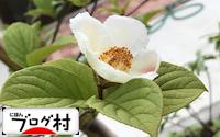 C-sharanoki.jpg