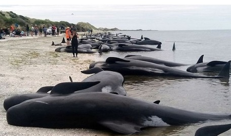 newzeala2222nd-whale-deaths.jpg