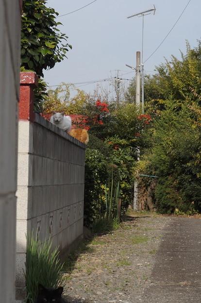 塀の上には白猫さんと茶トラさん