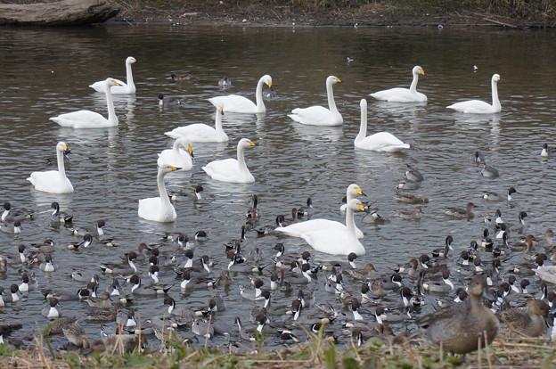 白鳥&鴨その1