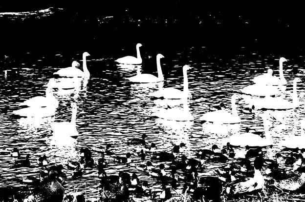 白鳥&鴨その3