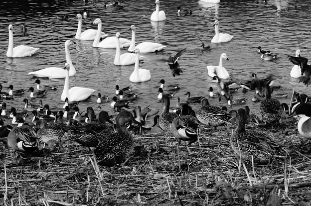 白鳥&鴨その4