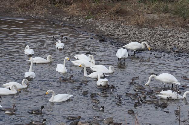 白鳥&鴨その5