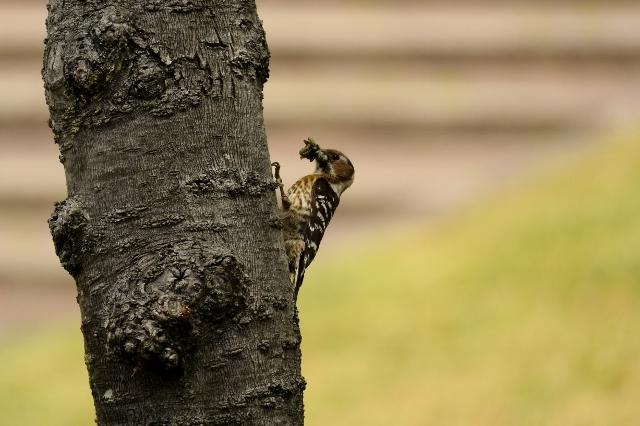 雛のため、せっせと毛虫を運ぶ「コゲラ」。