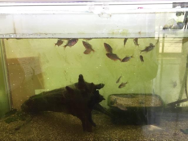 今朝のタナゴ水槽