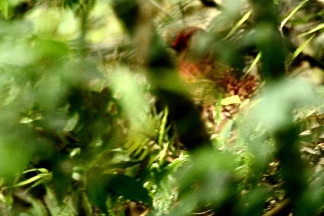 花岡の森に「ヤマドリ」出没!