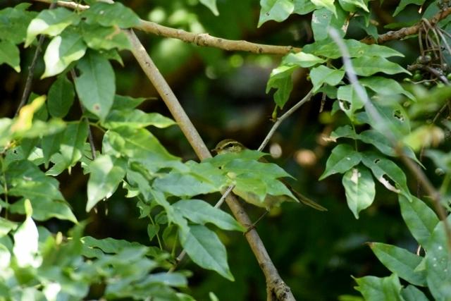 秋の旅鳥「オオムシクイ」現る!識別方法の解説もあります!