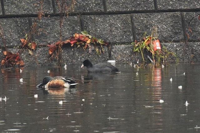 高安地域のため池で冬鳥「オオバン」を確認!