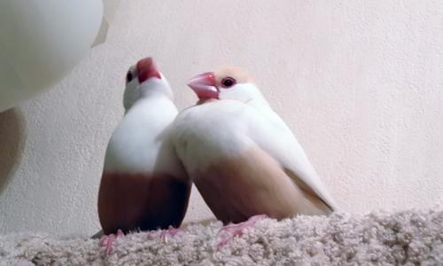 文鳥と一緒にお風呂_1