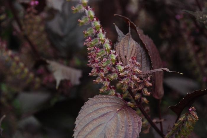 赤紫蘇の穂16