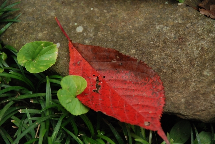 真っ赤な葉一枚28