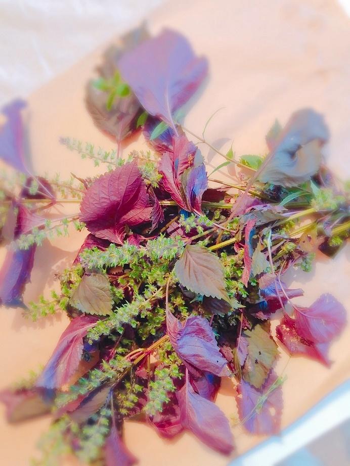 植物の力を最大限に活かす~perilla frutescens