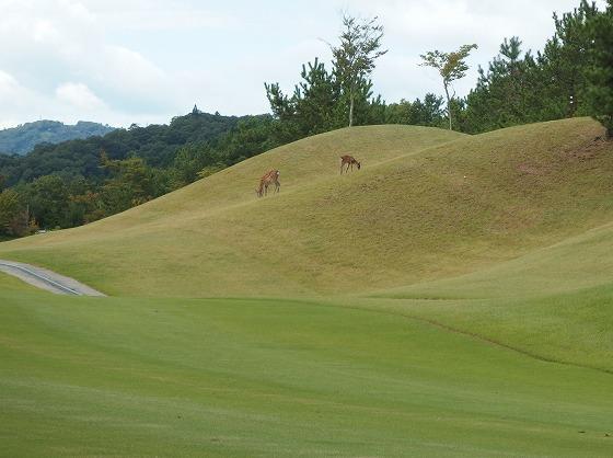 170912佐用ゴルフ南どこか鹿