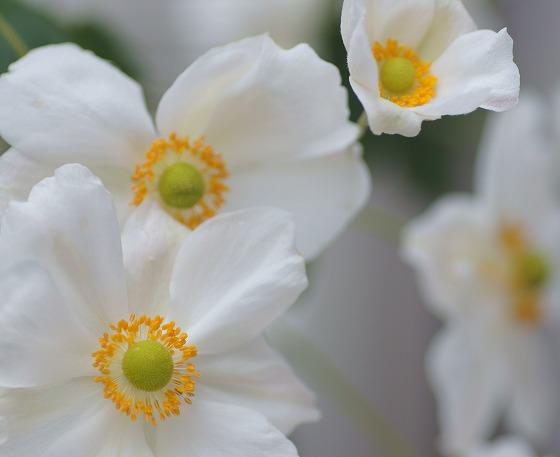 171020秋明菊