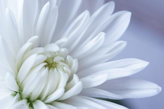 171227白い菊
