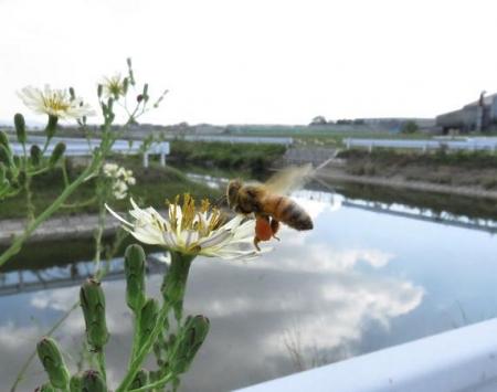 ニホン蜜蜂 010