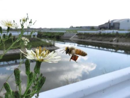 ニホン蜜蜂 011
