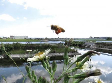 ニホン蜜蜂 012