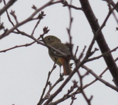 モンツキ鳥 004