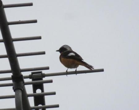 モンツキ鳥 002