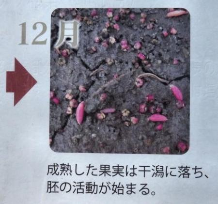 シツメン草 038