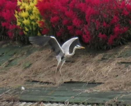 鶏頭の花 072