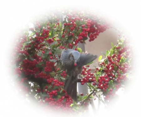 瞑想アオサギ・赤い実ヒヨドリ(追加) 037