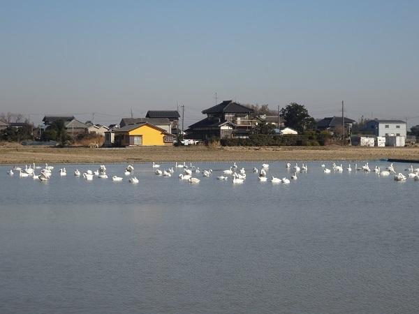 20171223印旛沼 (2)
