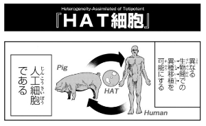 HAT細胞