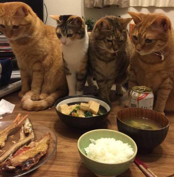 キジトラ「俺が味噌汁こぼすからみんなは魚を狙え!」