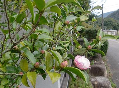 山茶花が咲き出しました。 10/18