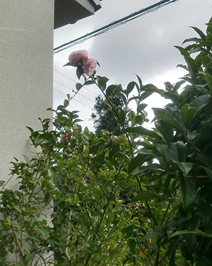 山茶花が咲き出しました。 10/20
