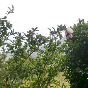 山茶花が咲き出しました。 10/21
