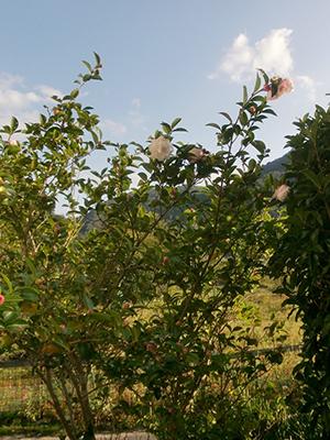 山茶花が咲き出しました。 10/23