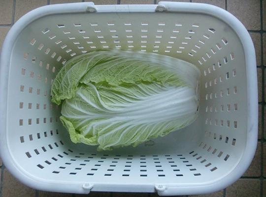 初採り白菜