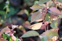 小さな紅葉1