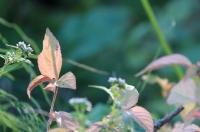 小さな紅葉2