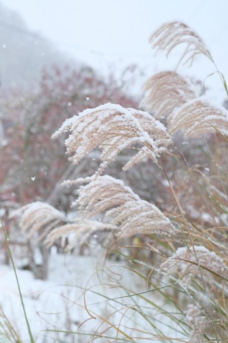 イトススキの穂と雪