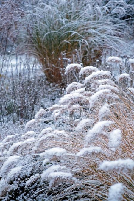 チカラシバの枯れ穂に雪11