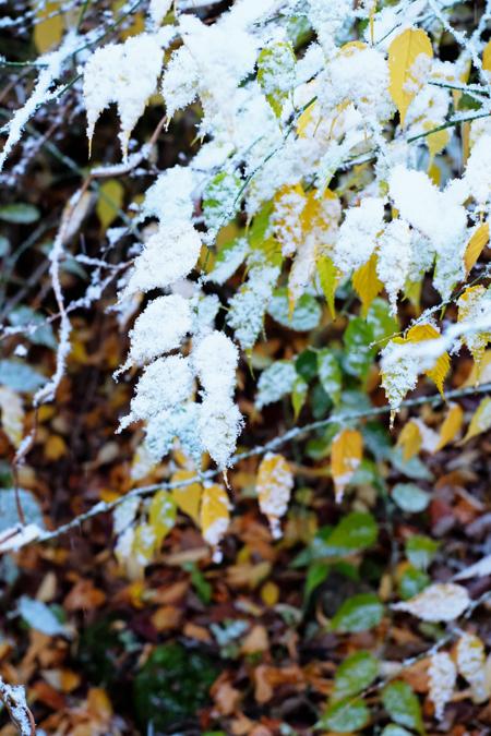 ヤマブキの黄葉と雪11