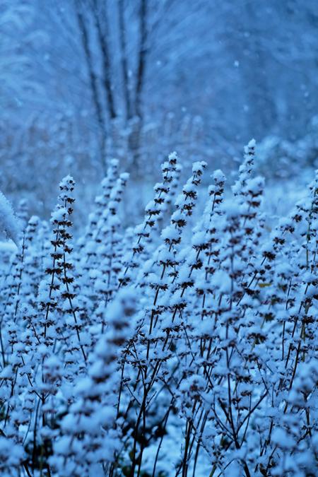 レモンバームと雪11